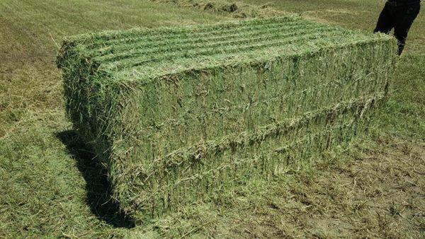 قیمت روز خوراک شترمرغ پرواری