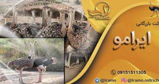 قیمت هر کیلو شتر مرغ