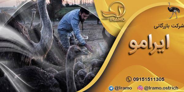 مزرعه پرورش شتر مرغ در شیراز
