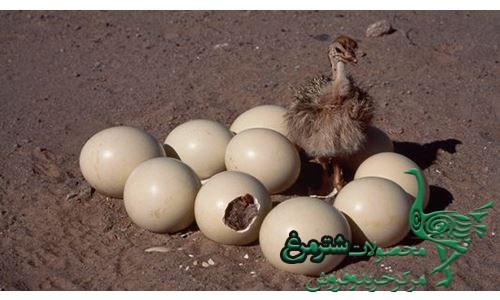 تخم شترمرغ تازه