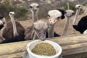 سایت خرید خوراک شترمرغ